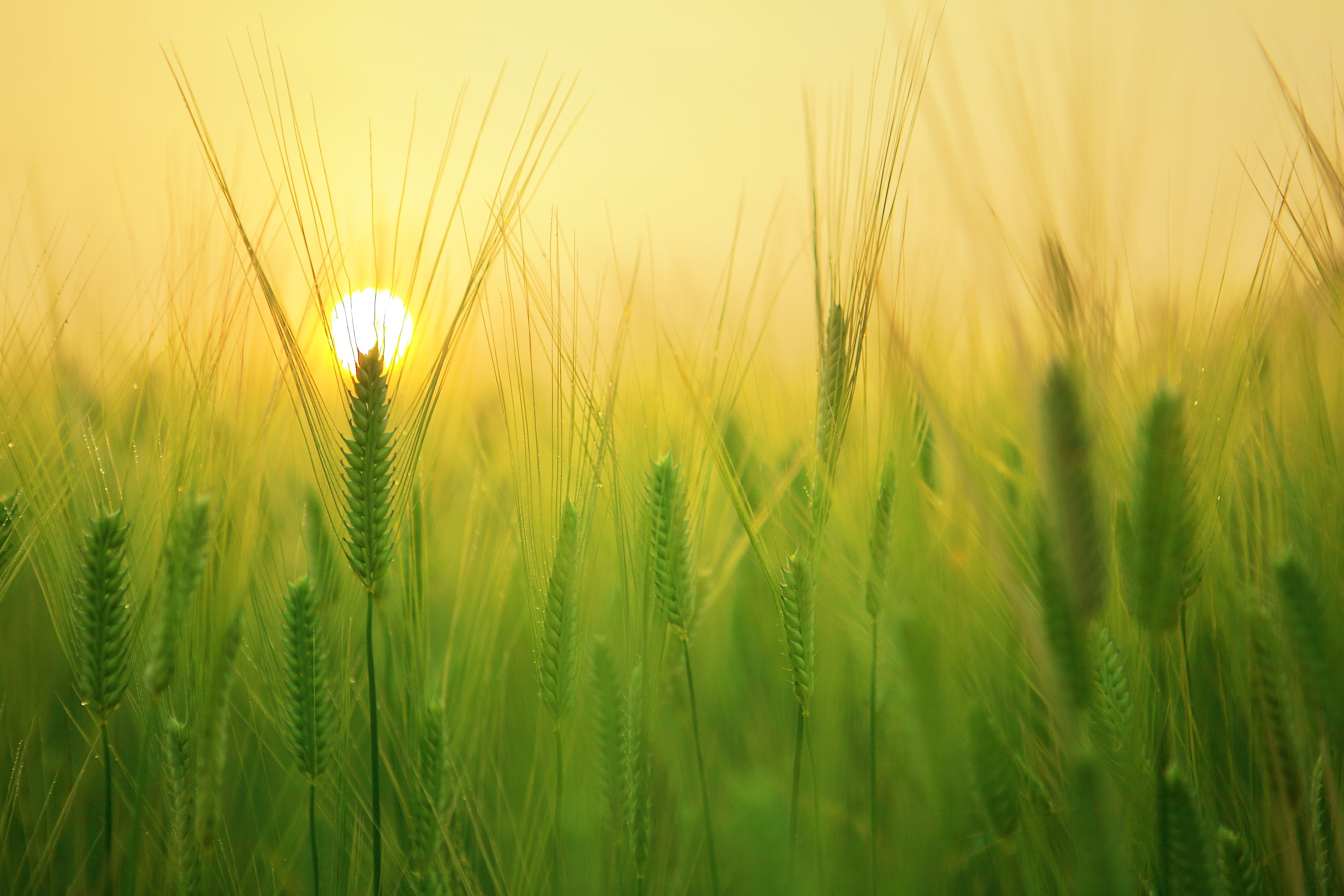 Sunrise in green field