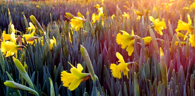 daffodils in sunshine