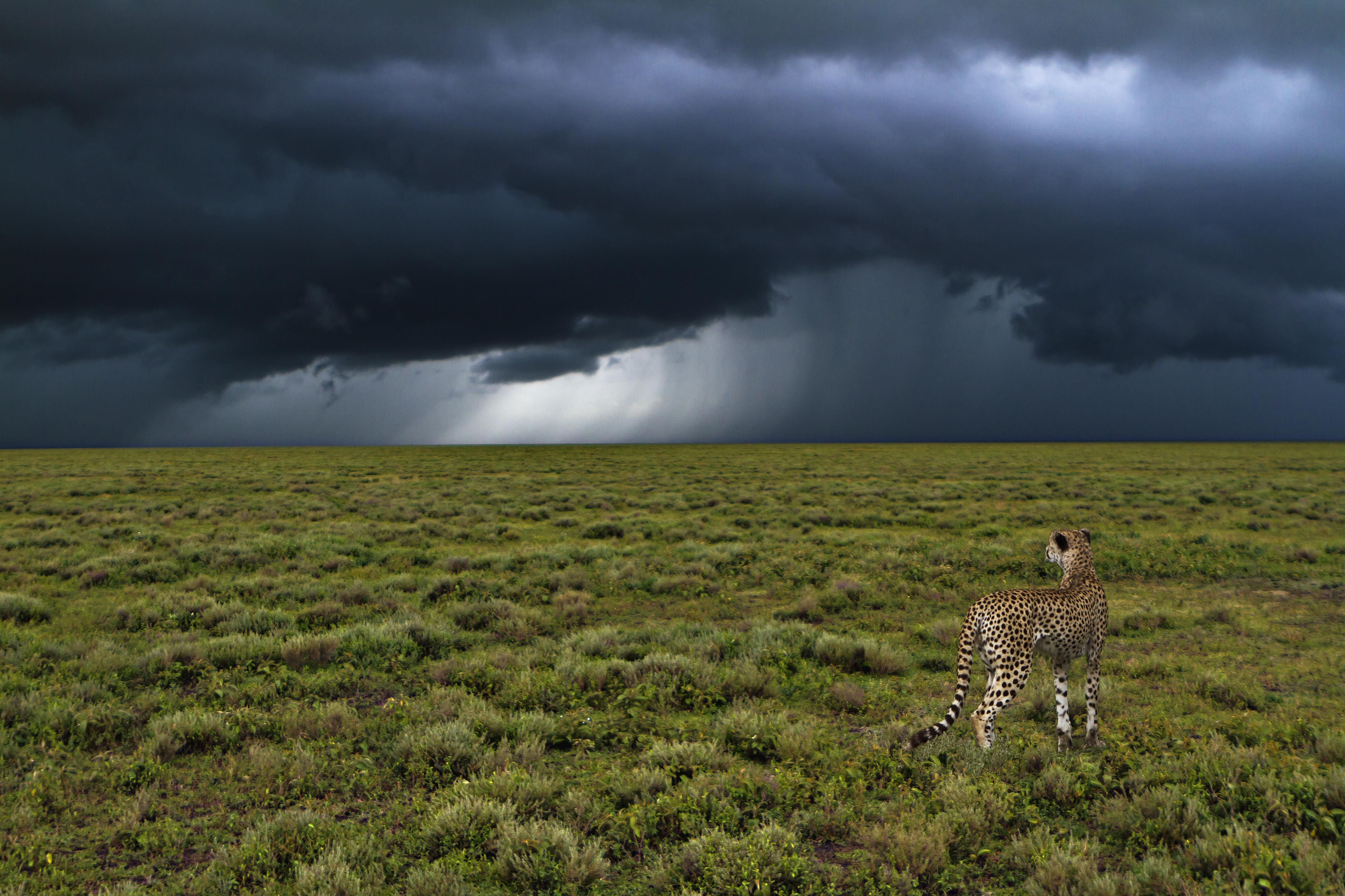 Thunderstorm with cheetah photo by Uwe Skrzypczak