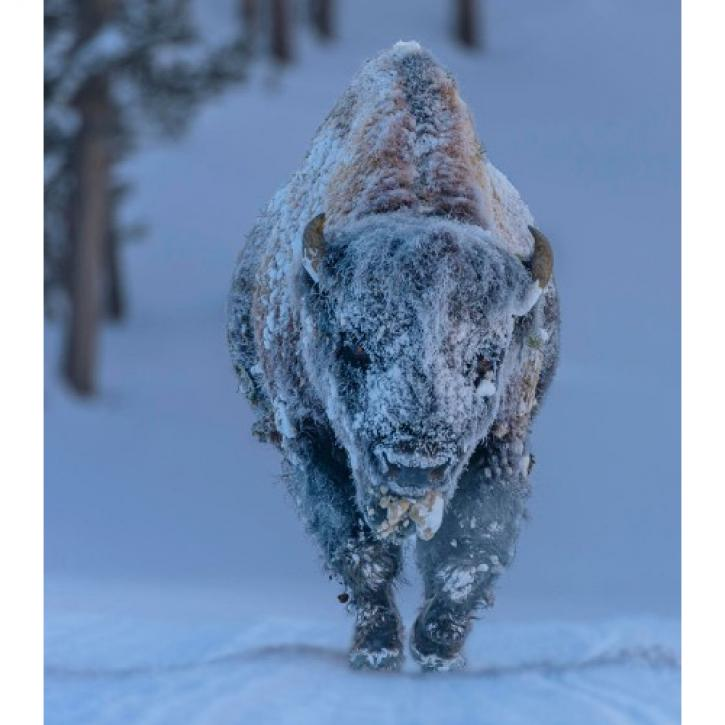 Frosty Bison © Laura Hedien