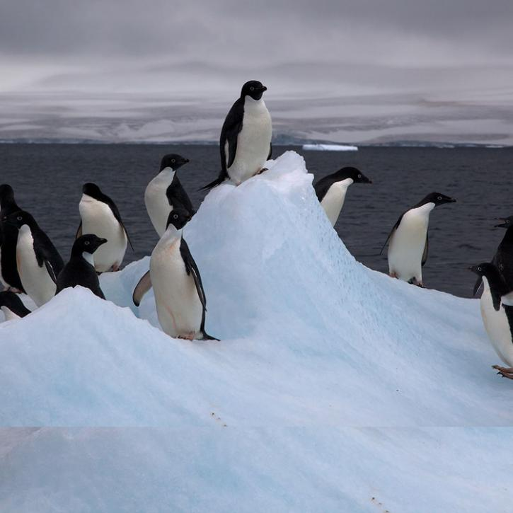 penguins and ice